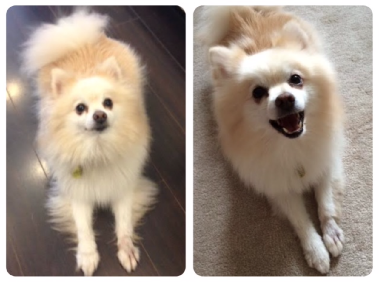 teddy bear grooming before and after