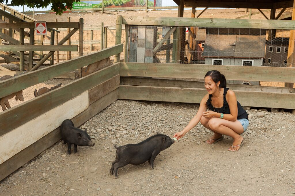 Potbelly Pigs at Maan Farms in Abbotsford