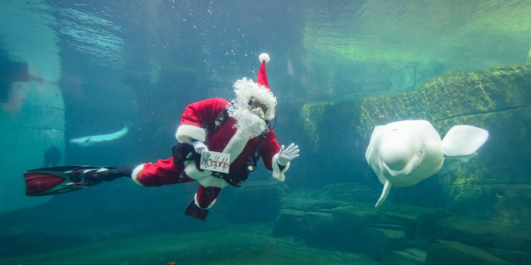 vancouver aquarium Scuba Claus and Beluga. jpg