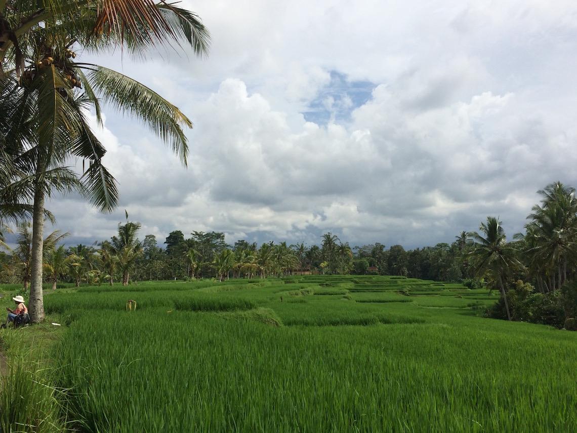 Indonesia Rice Fields