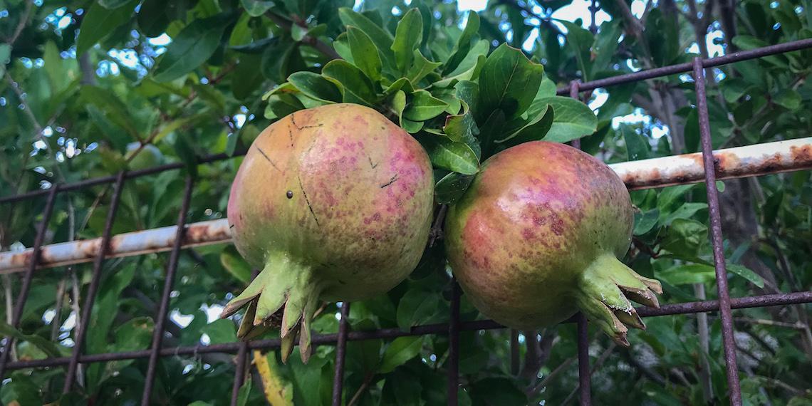 Pomegranate Tree in Greece