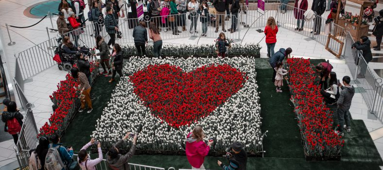 charity tulips display metrotown